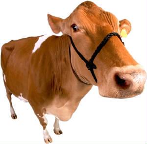 Lembu