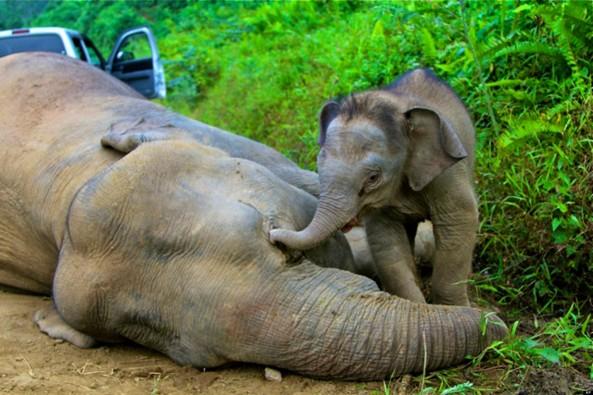 Malaysia Elephant Deaths